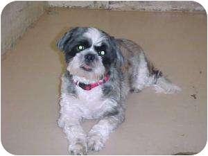 Shih Tzu Dog for adoption in Rochester Hills, Michigan - Sparky