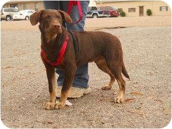 Labrador Retriever/Doberman Pinscher Mix Dog for adoption in berwick, Maine - Christopher