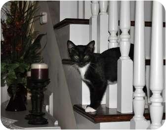 Domestic Shorthair Kitten for adoption in Morehead City, North Carolina - Ella