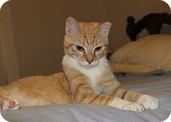 Domestic Shorthair Cat for adoption in Morehead City, North Carolina - Stanwyck
