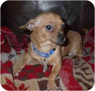 Chihuahua Puppy for adoption in Naugatuck, Connecticut - Jeffrey