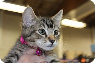 Domestic Shorthair Kitten for adoption in Santa Monica, California - Max