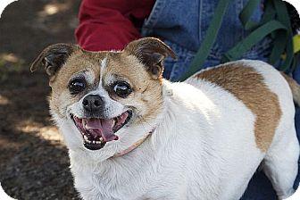 Chihuahua Mix Dog for adoption in Berkeley, California - Bertha