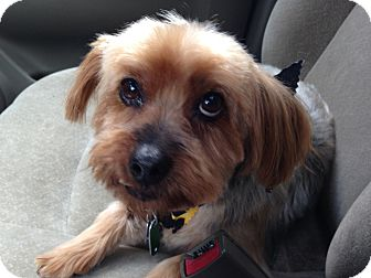 Silky Terrier Mix Dog for adoption in Bowie, Maryland - Haylee