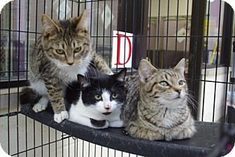Domestic Shorthair Kitten for adoption in Elyria, Ohio - Boots, Jody & Lover