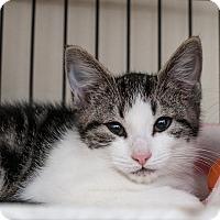 Adopt A Pet :: Summer - Shelton, WA