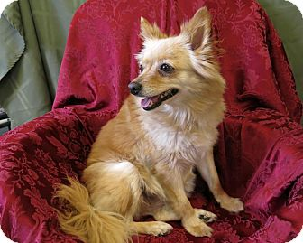 Pomeranian Mix Dog for adoption in High Point, North Carolina - Angel