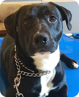 Labrador Retriever/Border Collie Mix Dog for adoption in Navarre, Florida - Logan