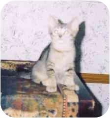 Domestic Shorthair Kitten for adoption in Fayette, Missouri - Kismet