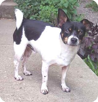 Rat Terrier/Chihuahua Mix Dog for adoption in McArthur, Ohio - BOOMER