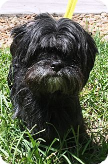 Shih Tzu Mix Dog for adoption in Miami, Florida - Susie