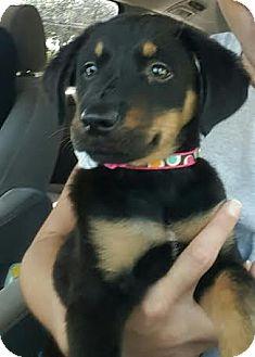 Rottweiler/German Shepherd Dog Mix Puppy for adoption in Homestead, Florida - Mazzie