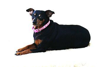 Miniature Pinscher Dog for adoption in Topeka, Kansas - Gracie