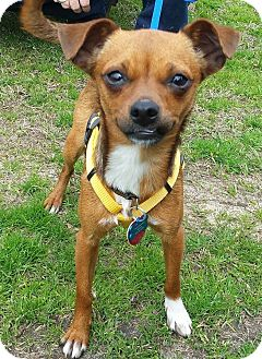 Feist/Chihuahua Mix Dog for adoption in Sumter, South Carolina - TIPPY