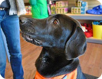 Labrador Retriever Mix Dog for adoption in kennebunkport, Maine - Chewie - in Maine