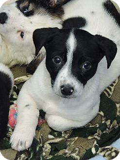 Australian Cattle Dog Mix Puppy for adoption in Brookings, South Dakota - Jewel