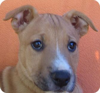 Shepherd (Unknown Type) Mix Puppy for adoption in Waldron, Arkansas - BARNABY