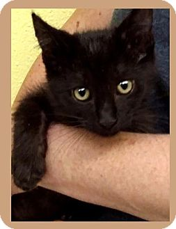 Domestic Shorthair Kitten for adoption in Red Bluff, California - NADIA