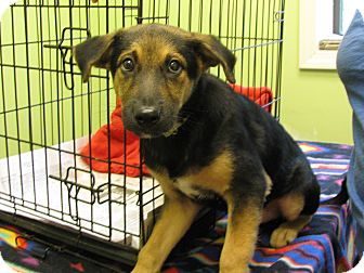 German Shepherd Dog Mix Puppy for adoption in Groton, Massachusetts - Benji