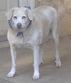 Labrador Retriever/Great Pyrenees Mix Dog for adoption in Cross Roads, Texas - Dovey