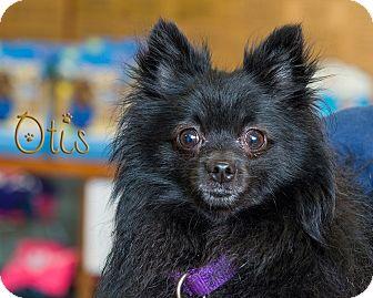 Pomeranian Mix Dog for adoption in Somerset, Pennsylvania - Otis