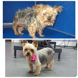 Yorkie, Yorkshire Terrier Dog for adoption in Spring, Texas - Bitsy