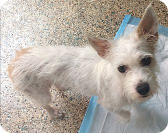 Terrier (Unknown Type, Small)/Poodle (Miniature) Mix Dog for adoption in Thousand Oaks, California - Skittles
