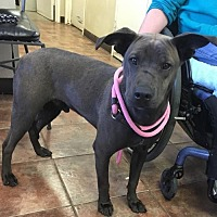 Shar Pei Mix Puppy for adoption in Amarillo, Texas - Hershey