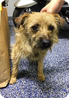 Terrier (Unknown Type, Small) Mix Dog for adoption in WESTMINSTER, Maryland - Lester