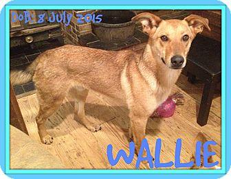 German Shepherd Dog Mix Dog for adoption in Albany, New York - WALLIE