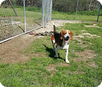 Beagle Mix Dog for adoption in Hammond, Louisiana - lennon