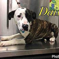 Adopt A Pet :: DAISY - Macon, GA