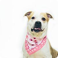 Adopt A Pet :: Milkshake - New Castle, PA