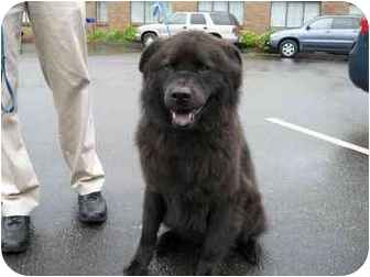 Chow Chow/Akita Mix Dog for adoption in BRIDGEPORT, Connecticut - MOOGLIE