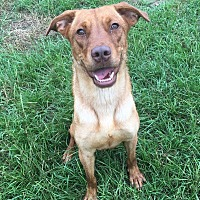 Shepherd (Unknown Type)/Labrador Retriever Mix Dog for adoption in Jackson, Mississippi - Sundance