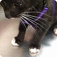 Adopt A Pet :: Boots - Tampa, FL
