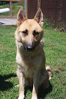 German Shepherd Dog/Shepherd (Unknown Type) Mix Dog for adoption in Poughkeepsie, New York - Sandi