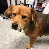 Adopt A Pet :: Holly - Lincolnton, NC