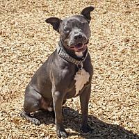 Adopt A Pet :: Milo - 8525 - Petaluma, CA