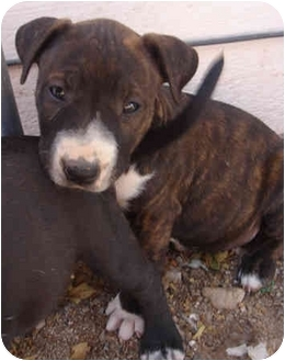 Bull Terrier Mix Puppy for adoption in Los Angeles, California - Willow