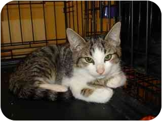 Domestic Shorthair Cat for adoption in Tucson, Arizona - Maxwell