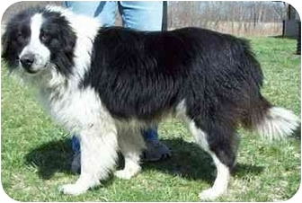 Border Collie Dog for adoption in North Judson, Indiana - Storm