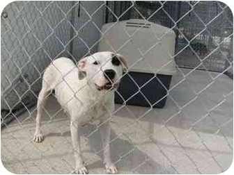 Pit Bull Terrier Dog for adoption in Stockton, Missouri - Cuddles