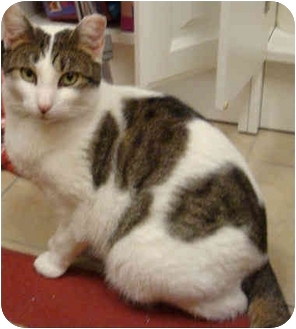 Domestic Shorthair Cat for adoption in Staten Island, New York - Andrew