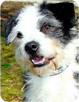 Wirehaired Fox Terrier/Boston Terrier Mix Dog for adoption in Pawling, New York - PEPPER