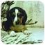 Photo 1 - Beagle Puppy for adoption in Bloomsburg, Pennsylvania - Frances Bean & Biggie Small