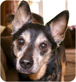 Shiba Inu Mix Dog for adoption in Cincinnati, Ohio - Lucky