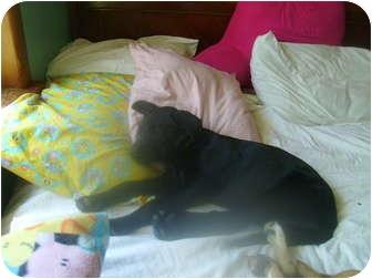 Labrador Retriever/Boxer Mix Puppy for adoption in braxton, Mississippi - Darby