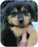 Border Collie Mix Puppy for adoption in Staunton, Virginia - Sunshine