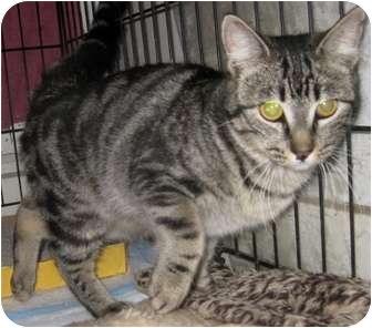 Bengal Kitten for adoption in Dallas, Texas - Satin
